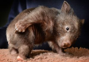 wombat-punk